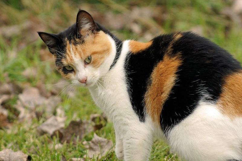 ваш лекарь - трехцветная кошка